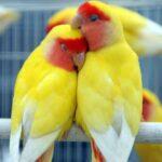 pájaros inseparables roseicollis