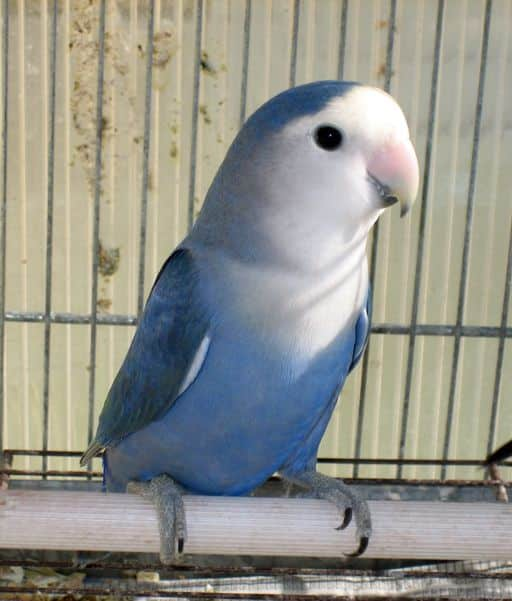 Agapornis - Información especializada sobre los inseparables o pájaros del amor.