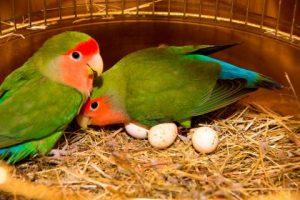 cuando ponen huevos los inseparables